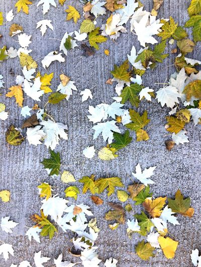 Close-up of maple leaves on plant during autumn