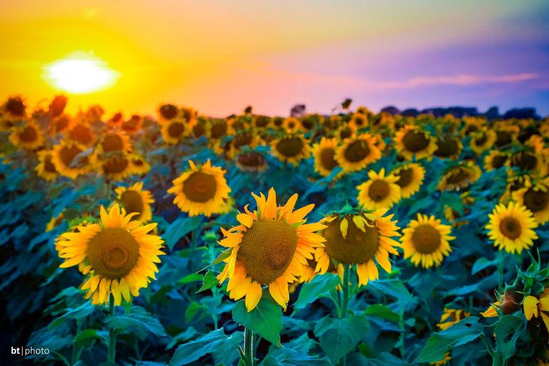 Sunflower field back home in Kansas. EyeEmNewHere Field Kansas Beauty In Nature Flower Golden Hour Outdoors Petal Prarie Rural Scene Sunflower Sunset Yellow