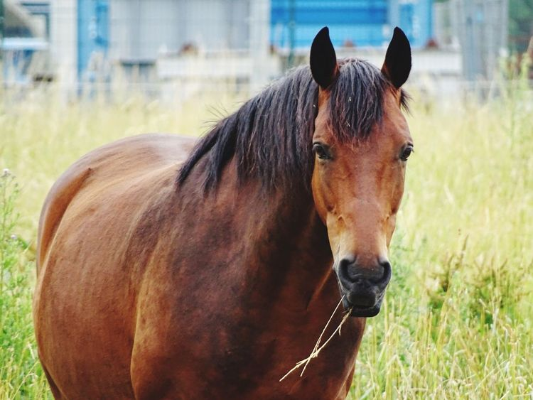 Horse Animal Themes One Animal Mammal Focus On Foreground Domestic Animals Herbivorous Field Livestock Day Standing Outdoors Brown No People Nature Grass Portrait Close-up Nature Nature Photography EyeEm Best Shots EyeEm Nature Lover Eye4photography  EyeEm Gallery EyeEmBestPics