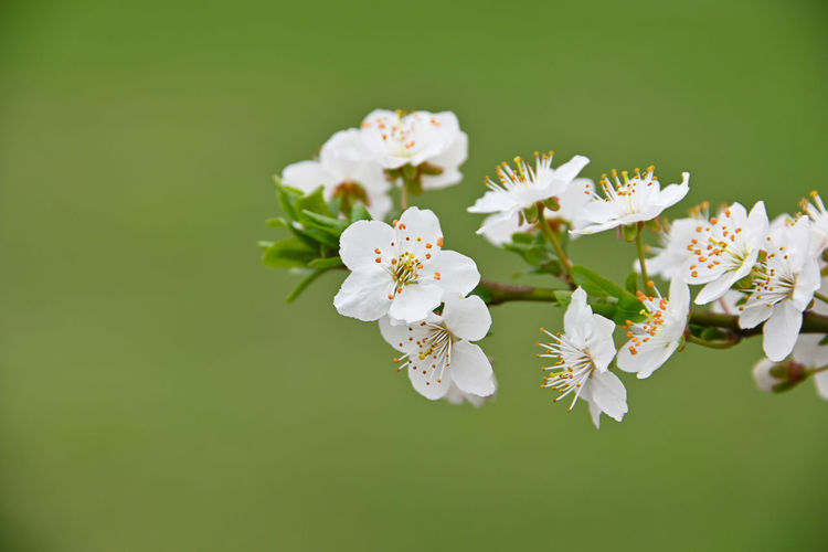 Close up white cherry blossom over green grass background Flowering Plant Flower Fragility Plant Vulnerability  Freshness Beauty In Nature Growth Close-up Petal Inflorescence White Color Flower Head Pollen Nature No People Blossom Springtime Cherry Blossom Tree Day Green Green Background Copy Space Spring Season  In Bloom