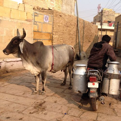 Caw Day Domestic Animals Herbivorous Hindu Hindu Culture Livestock Mammal Milk Milk Delivery Morning In India Morning Life No People Outdoors Rajasthan Rajasthandiaries Working Animal