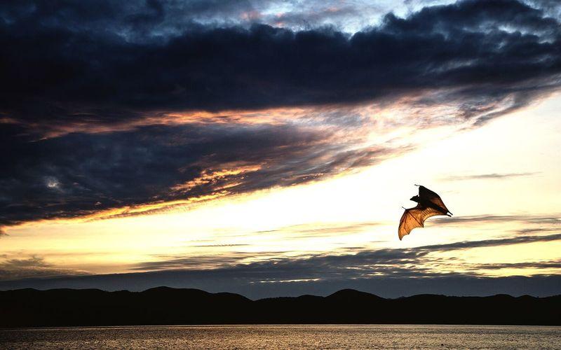 Bat flying over lake against sky during sunset