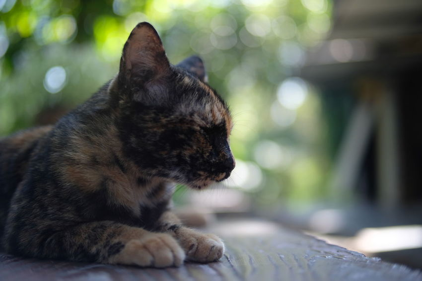 Thai Cat Animal Themes Close-up Day Domestic Animals Domestic Cat Feline Focus On Foreground Indoors  Local Cat Mammal No People One Animal Pets Sitting Whisker