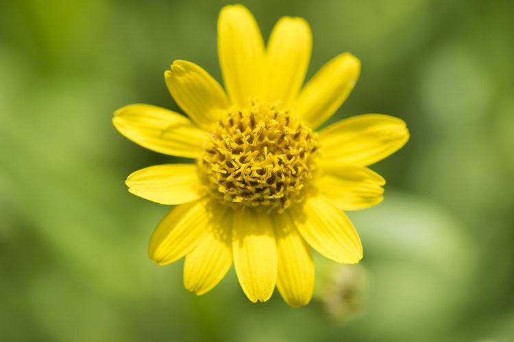 blooming medicinal plant arnica montana Arnica Arnica Montana Homeopathic Isolated Medicine Nature Plant Science Alternative Medicine Beauty In Nature Bloom Blooming Blooming Flower Blossom Close-up Environment Homeopathic Medicine Homeopathy Medical Medicinal Medicinal Plant No People Pharmaceutical Remote Yellow
