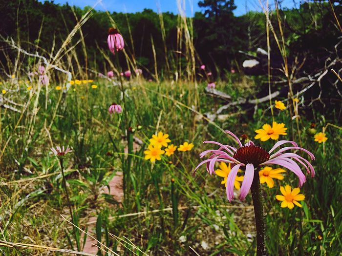 Flower Nature Growth Freshness Fragility Plant Beauty In Nature Petal Flower Head Blooming Outdoors Day Focus On Foreground No People Close-up Coreopsis Coneflower Native Flowers Missouri Native Missouriphotography Glade Natural Area