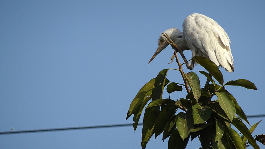 Egret In City Animal Themes Animals In The Wild Bird Bird In City Bird Photography Bird Photograpy Branch Day Egret EyeEmNewHere Grass Leaves Nature No People Open Wings Outdoors Perched Rakeshtiwari Sheep Ranch Tree White Bird Wildlife & Nature Wildlife Photography