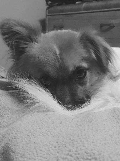 The Week On EyeEm EyEmNewHere Pets One Animal Dog Chewie ready for bed. Close-up Indoors  Old Dresser No People Black & White