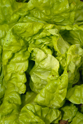 fresh harvested lettuce Food And Drink Vegetable Food Healthy Eating Full Frame Green Color Freshness Wellbeing Close-up Backgrounds No People Lettuce Raw Food Plant Part Leaf Organic Still Life Day Leaf Vegetable High Angle View Leaves Dieting Vegetarian Food