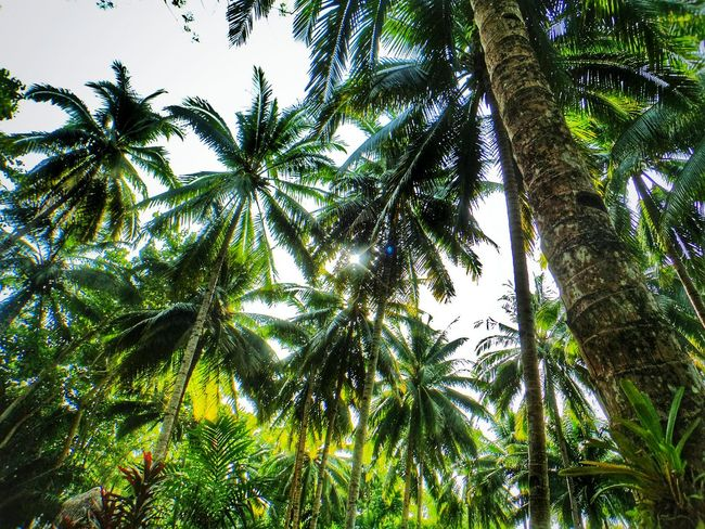 Tree Green Color Beauty In Nature Nature Outdoors Coconut Palm Tree