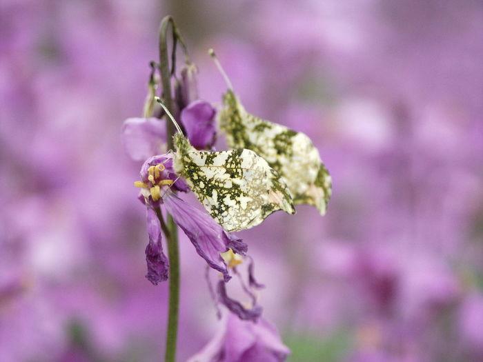 Anthocharis Scolymus Beauty In Nature Butterflies Duetto Flower Nature Orychophragmus Violaceus UniSon ツマキチョウ