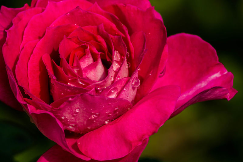 Close-up of wet pink rose