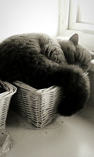 My lovely cat Saffie!Cat Cute Pets Cute♡ Cat Saffie British Blue Sleeping Sweet Basket