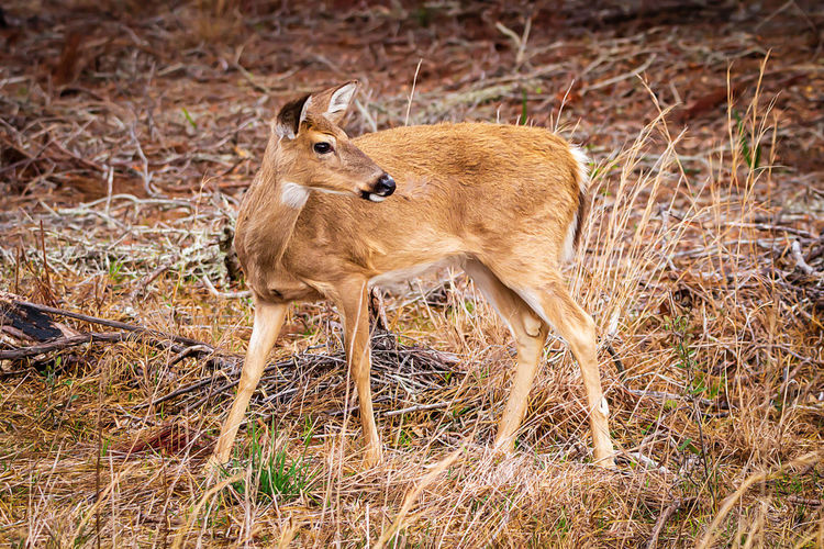 Animal Themes Animal Animal Wildlife Animals In The Wild One Animal Mammal Vertebrate No People Nature Brown Day Land Standing Grass Side View Full Length Field Outdoors Looking Deer Herbivorous Semi-arid