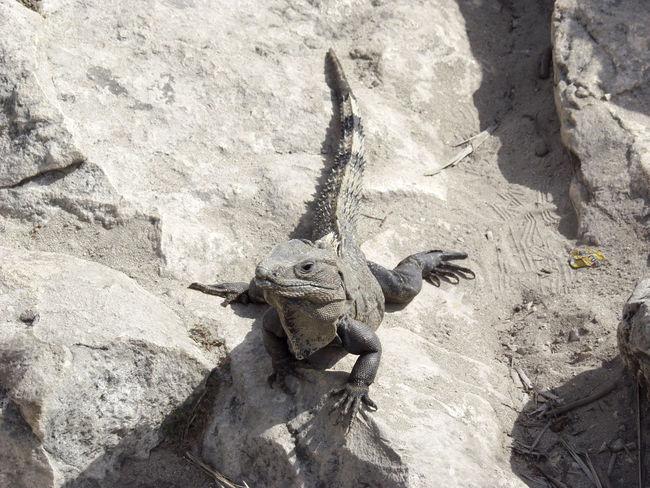 Cozumel, Mexico Close-up Day Iguana Iguana Island Iguanas Large Lizard Nature No People Outdoors Salamander Tulum Iguana