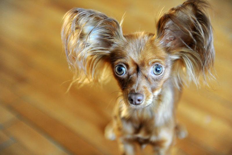 High angle portrait of dog standing on hardwood floor at home