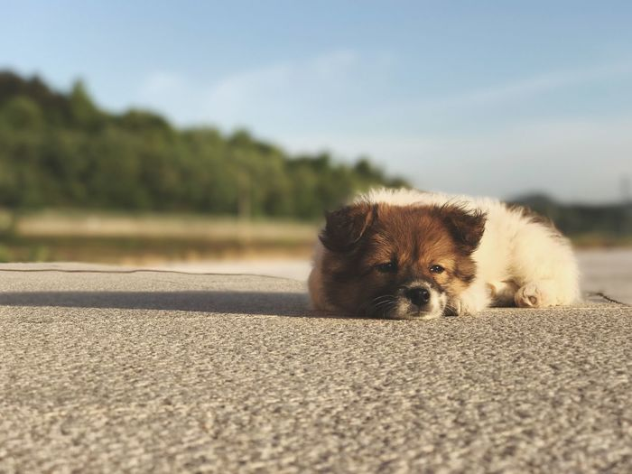 Close-Up Portrait Of Dog Relaxing On Road