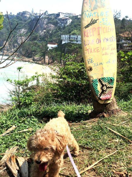 Dog Dogslife Dog❤ Poodle🐩 Veterinary Veterinario Veterinaria Animal Nature Animais Animal In Nature Passeio  Feliz Lindo  Joatingabeach Joatinga Praia