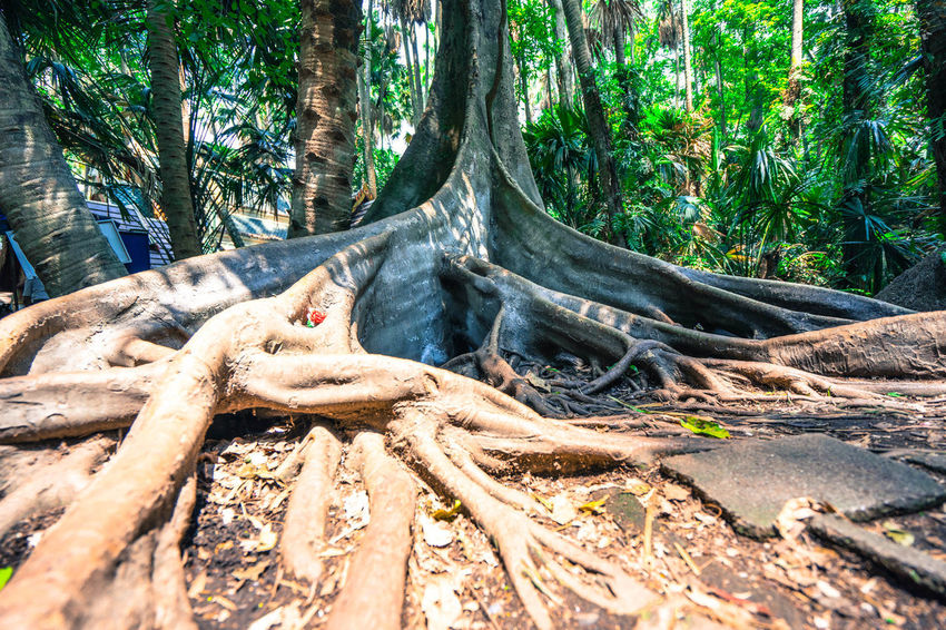 a torpical rainforest maybe some where have a palm trees in there BIG Buttress Roots Evergreen Trees Green Nature Trees Biology Botanical Botany Buttress Day Forest Gerrn Palm Trees Root Tall - High Tropical Tropical Plants Tropical Rainforest