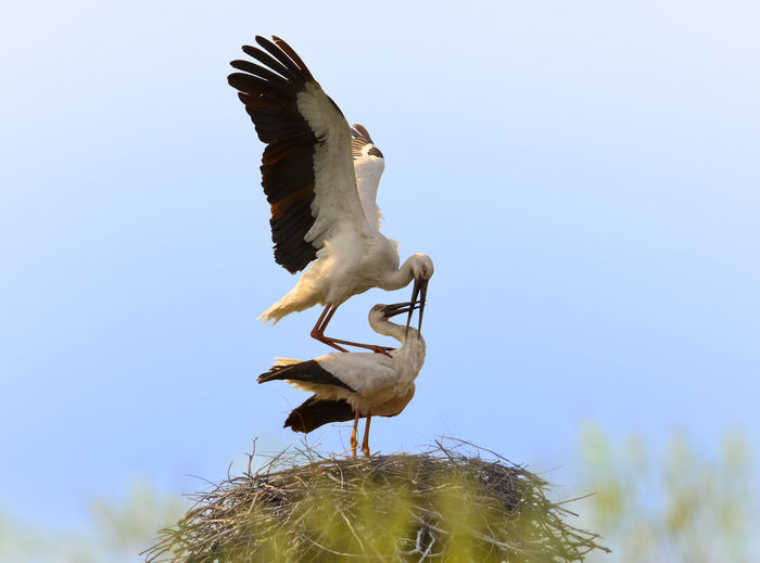 Oriental white storks are falling love in this spring. Beauty In Nature Bird Birds Blue Couple Love Nature No People Oriental Oriental White Stork Outdoors Sky Spread Wings Spring Stork