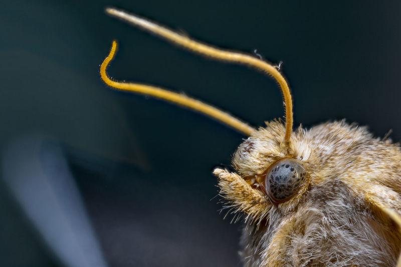 Carpet Moth Carpetmoth Close-up Common Brown Moth Insect Photography Moth Moth Close Up Mothh Eye