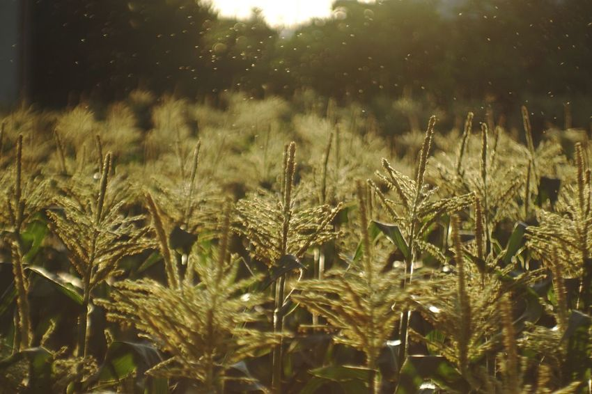 Japan Sunshine Jupiter9 Bokeh Photography Bokeh Vintage Lens EyeEmBestPics EyeEm Best Shots EyeEmNewHere Sweetcorn Plant Growth Field Beauty In Nature Nature Tranquility No People