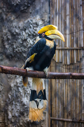 Wreathed hornbill Animal Head  Animal Photography Animal Themes Animal_collection Animals Avian Beauty In Nature Bird Cage Close-up Day Focus On Foreground Multi Colored Nature No People Outdoors Parrot Perching Selective Focus Tree Wildlife Wreathed Hornbill Yellow Zoo Zoo Animals