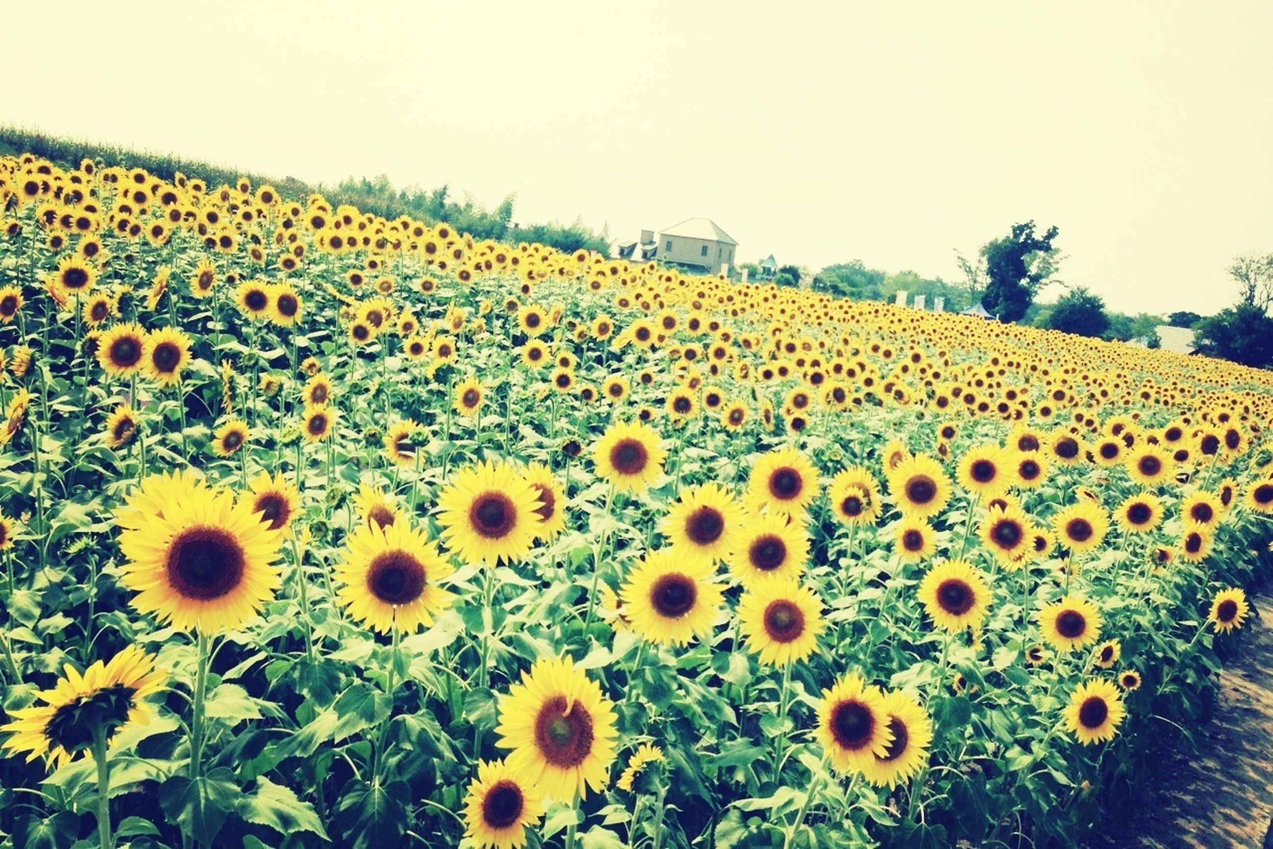 flower, yellow, sunflower, freshness, growth, fragility, beauty in nature, field, rural scene, flower head, agriculture, nature, plant, clear sky, blooming, petal, abundance, farm, tranquil scene, landscape