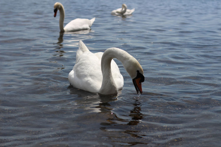 Animal Themes Animal Wildlife Animals In The Wild Beauty In Nature Bird Day Lake Nature No People Outdoors Spread Wings Swan Swimming Togetherness Water Water Bird Waterfront White Color