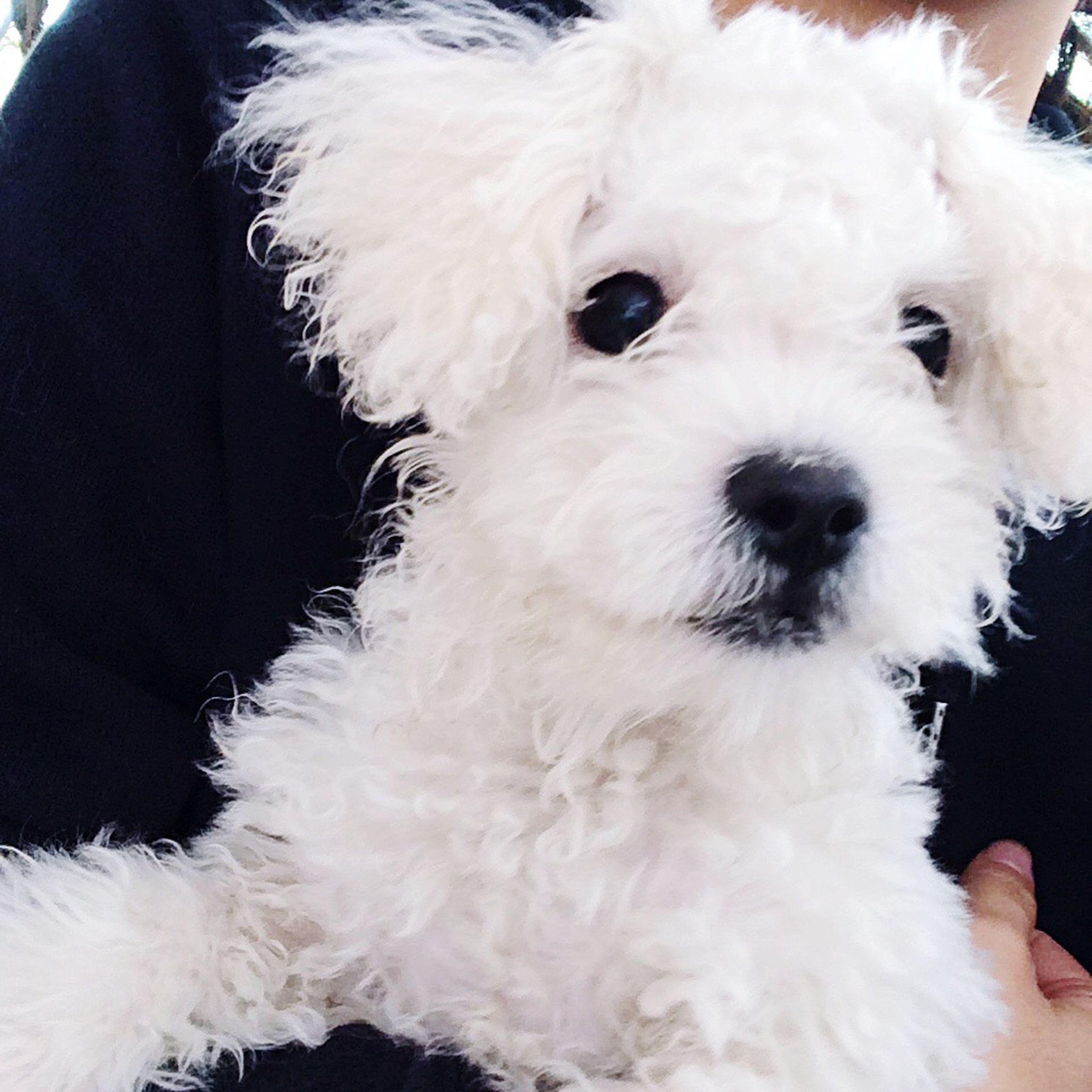 pets, domestic animals, dog, animal themes, one animal, mammal, portrait, looking at camera, close-up, west highland white terrier, no people, pet clothing, outdoors, day