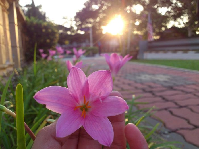 Flower Focus On Foreground Freshness Growth Human Hand Nature Outdoors Petal Pink Color Pink Flower 🌸 Plant Sunlight Xperia Ray