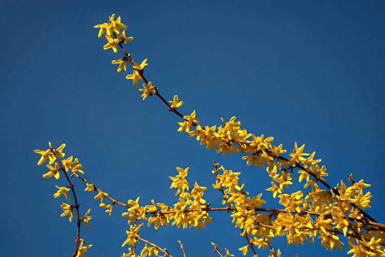 spring Forsythia Flowers Spring Springtime In Germany Yellow Flowers