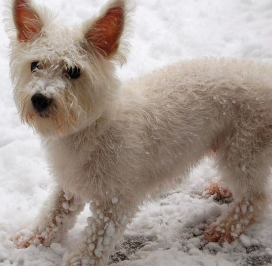 White Dog Standing in the Snow Snow Snow ❄ Dogs Of EyeEm Dogs Winter Shades Of Winter Dog Pets Animal Hair Animal One Animal Wet Domestic Animals Mammal Beauty Winter Outdoors No People Cold Temperature Water Snow Nature Animal Themes Day EyeEmNewHere