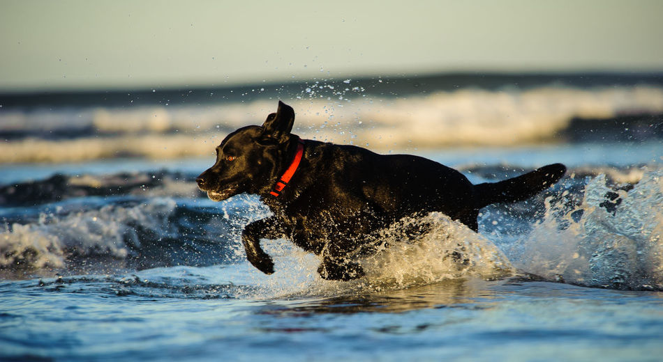Side view of black labrador retriever running in water at beach