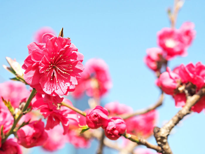 Peach blossoms blooming beautifully (綺麗に咲いている桃の花) Ad Blue Color Copy Space Daytime Green Japan Nature Plant Red Black Color Brown Close-up Cute Flower Landscape Margin No Person Nobody Osaka Castle Park Outdoors Peach Pink Color Text Space White 桃
