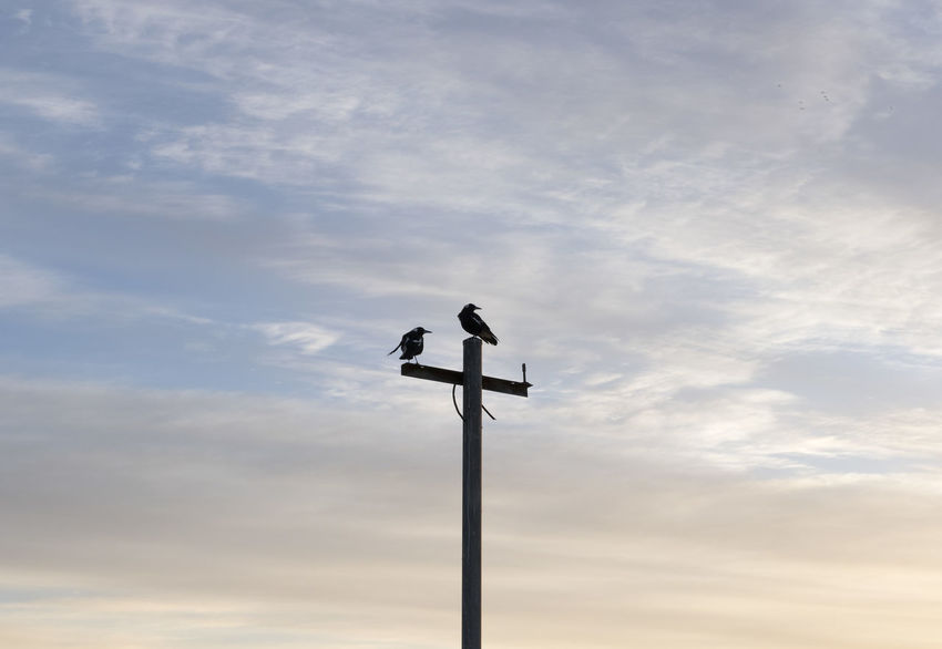 Animal Animal Themes Animal Wildlife Animals In The Wild Bird Cloud - Sky Day Direction Lighting Equipment Low Angle View Meteorology Nature No People One Animal Outdoors Perching Pole Silhouette Sky Vertebrate Weather Vane