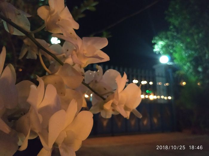 Orchid and Light #focus_graphy Thadingyut Festival Close-up