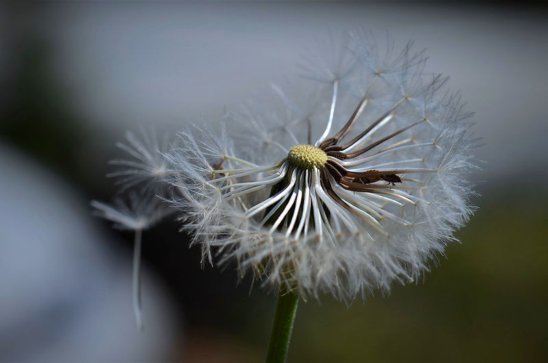 Close-up of wilted dandelion flower