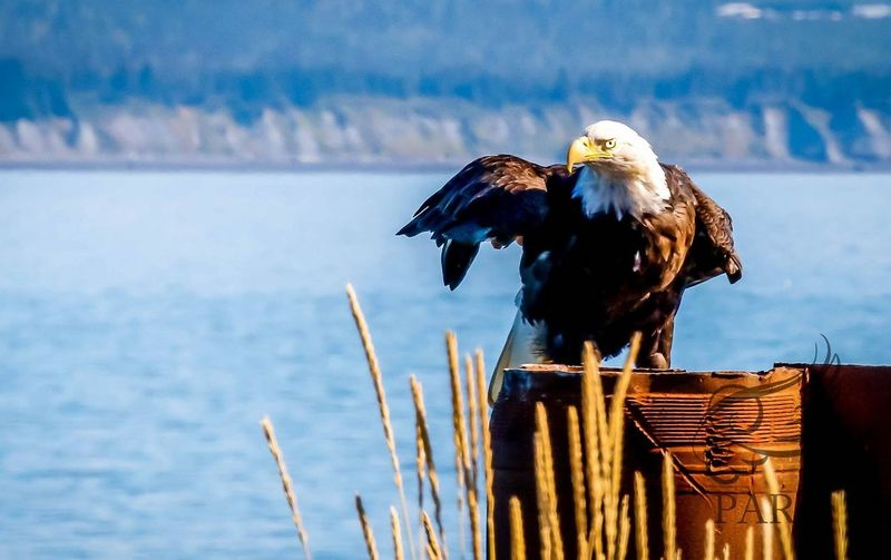 Eagle Alaska Homer Wildlife Animals In The Wild Birds Eagles MiMiParis