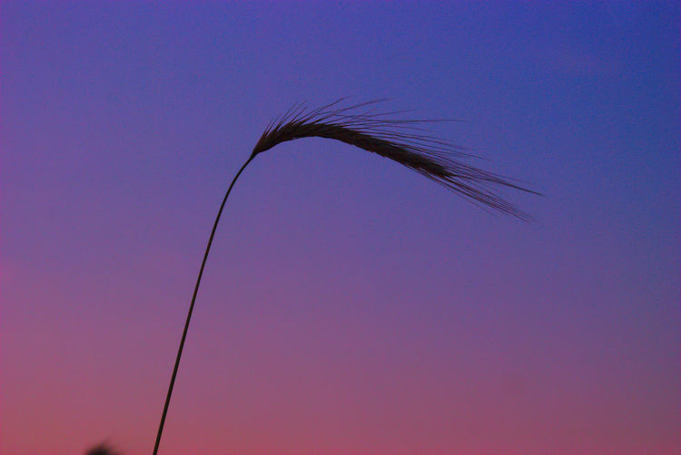 Single stalk of wheat blowing in the wind on a warm summer evening in Southern New Jersey USA Sky Beauty In Nature Nature No People Low Angle View Blue Copy Space Clear Sky Plant Silhouette Growth Sunset Outdoors Tranquility Day Close-up Scenics - Nature One Animal Animals In The Wild Plant Stem Stalk Nj South Jersey Njspots Farmlife