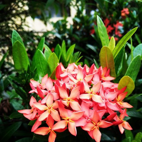 Maximum Closeness Growth Nature Freshness Plant Beauty In Nature Close-up Green Color Ixora Petal Leaf Blooming Flower Fragility Flower Head Day No People Outdoors Day Lily
