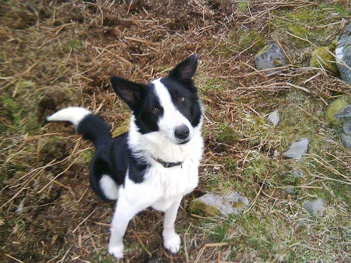 Border Collie Working Dog Moor