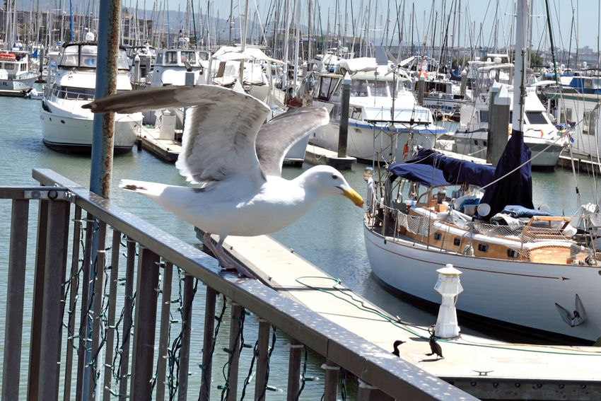 California Gulls Take Off 2 Larus Californicus Emeryville Marina Seagulls Forager Pacific Coasts Diet: Most Anything Including Other Young Birds Birds Birdwatching Birds In Flight Birds_collection Bird Photography Sailboats Sailboat Masts Yachts