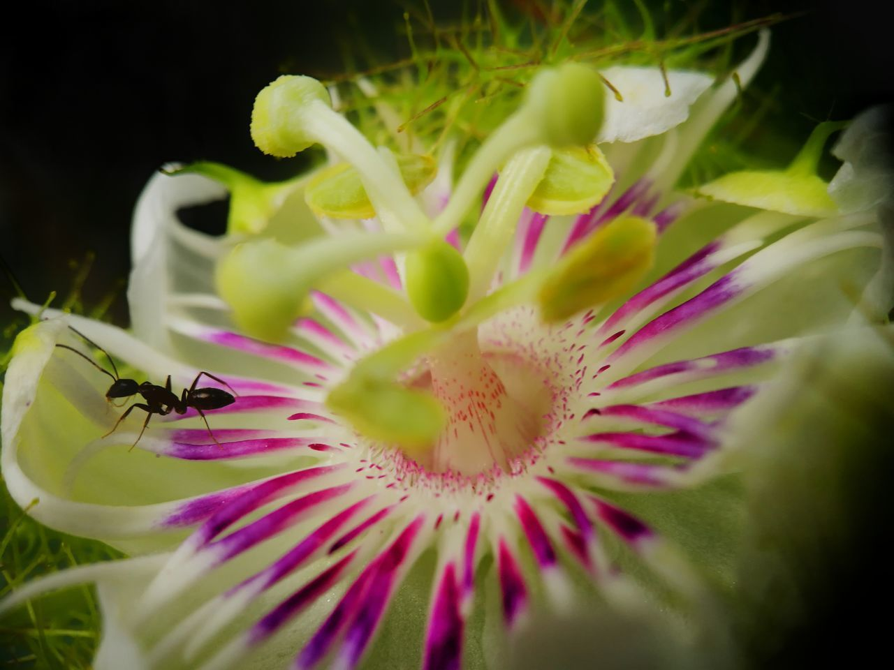 flower, petal, fragility, insect, freshness, one animal, beauty in nature, nature, growth, animal themes, plant, flower head, close-up, no people, outdoors, animals in the wild, day, bee, passion flower