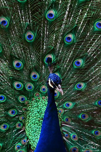 Peacock First Eyeem Photo Peacock Bird Photography Moments Canonphotography