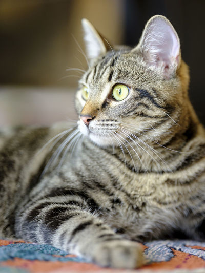 Animal Animal Eye Animal Head  Animal Themes Cat Close-up Domestic Domestic Animals Domestic Cat Feline Indoors  Looking Looking Away Mammal No People One Animal Pets Portrait Relaxation Selective Focus Tabby Vertebrate Whisker