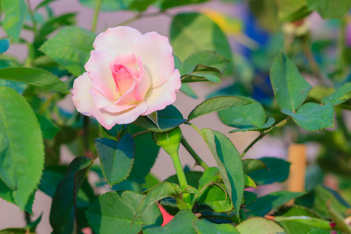 Beautiful white pink rose in the garden that ready for Valentine's Day Beautiful Flowers 🌸 Beautiful Nature Beautiful Flowers Of My Garden. Pink Rose Pink Rose Flower Pink Roses Close-up Beautiful Flower Beautiful Flower Close Up Beautiful Flower, Natural Color, Beautiful Flowers Beautiful Flowers Garden Nature Beautiful Flowers Make Me Happy Beautiful Flowers. Beauty In Nature Blooming Close-up Day Flower Flower Collection Flower Head Fragility Freshness Green Color Growth Leaf Nature No People Outdoors Petal Pink Color Pink Rose Bud Plant Rose - Flower Soft Pink Soft Pink Flower Soft Pink Flowers Soft Pink Petal Soft Pink Petals Soft Pink Rose Petal White Pink White Pink Pearl Flower