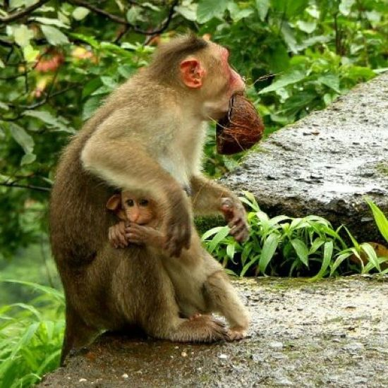 There is no velvet so soft as a mother's lap. Clicked at Varanda Ghat, Maharashtra. Monsoon Mountainranges Monkey Monsoonmagic love loveis incredibleindiaofficial incredibleindia india wanderlust travelbug travel