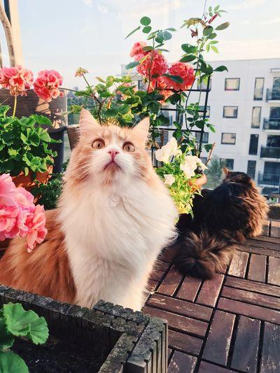 Red cat Plant