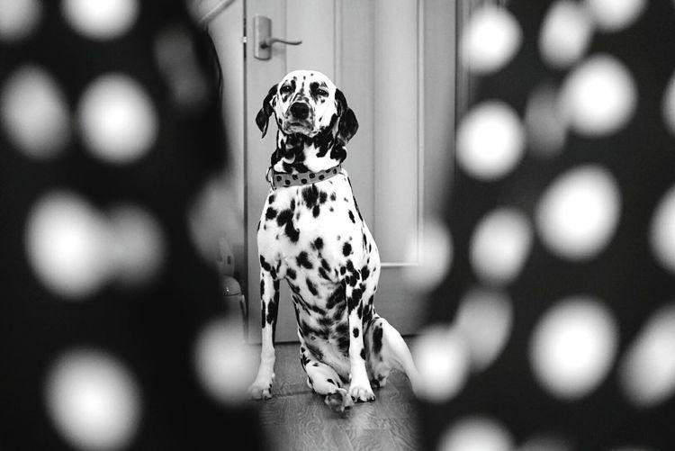 Taking Photos Relaxing Blackandwhite Ilovemydog Dalmatian ダルメシアン