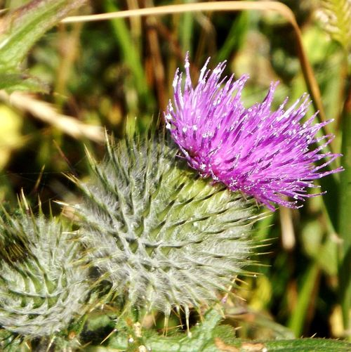 Walking Around Whitby Flower Head Flower Thistle Insect Purple Uncultivated Close-up Animal Themes Plant